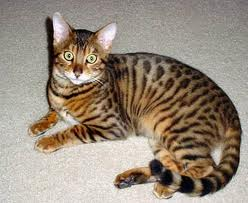 Cats For Sale In Pakistan Bengal For Sale In Pakistan Animals Pets For Sale In Pakistan