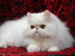 Persian Cat Persian Cat For Sale Persian Cat For Sale In Pakistan Pets Animals For Sale