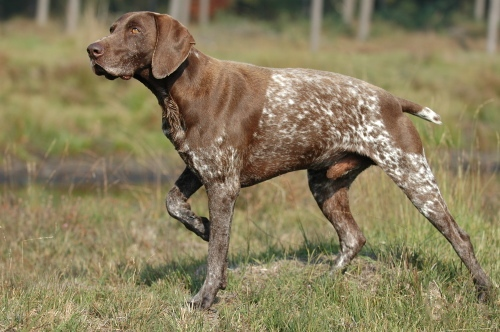 Pointer Dog | Pointer dog for sale | Dogs for sale in Pakistan | Pets ...