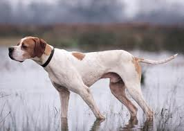 Pointer Dog Pointer Dog For Sale Dogs For Sale In Pakistan Pets Animals For Sale