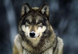 Wolfdog | Wolfdog for sale in Pakistan | Pets | Animals