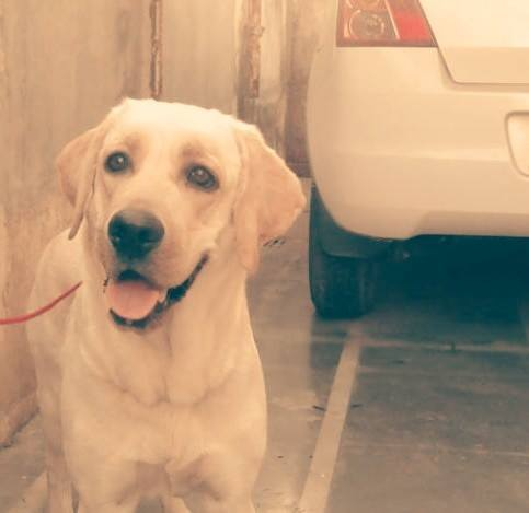 Pets Pakistan - yellow lab for sale