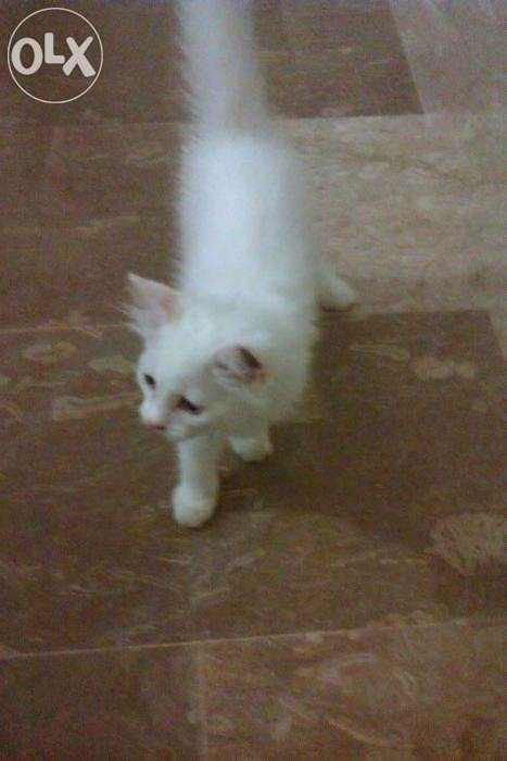 Pets Pakistan - persian cat for sale
