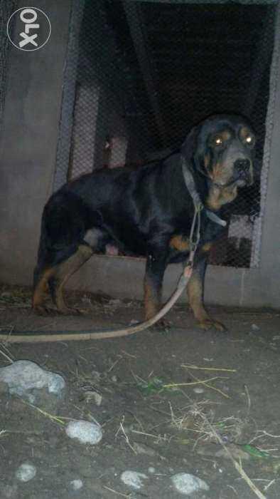Top 10 Punto Medio Noticias | Rottweiler Puppies For Sale In