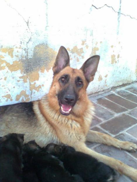 Pets Pakistan - German Shepherd and Labrador Puppies for