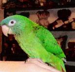 Pets Pakistan - BLUE CROWN CONURE PARROT FOR SALE