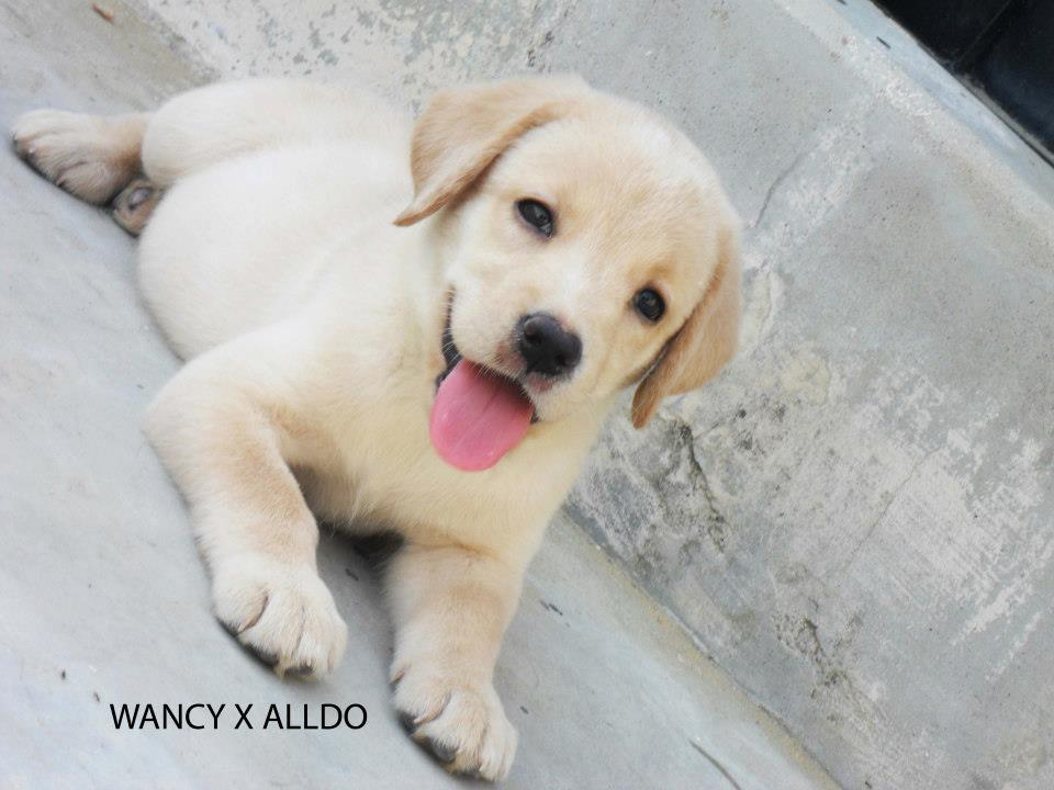 Pets Pakistan - HIGHLY PEDIGREED LABRADOR PUPPIES FOR SALE  !!