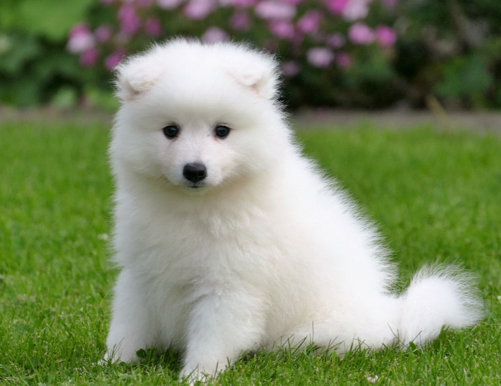 Pets Pakistan Japanese Spitz Puppies