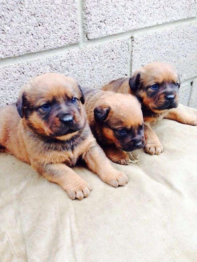Pets Pakistan - Outstanding Rottweiler Puppies For Sale