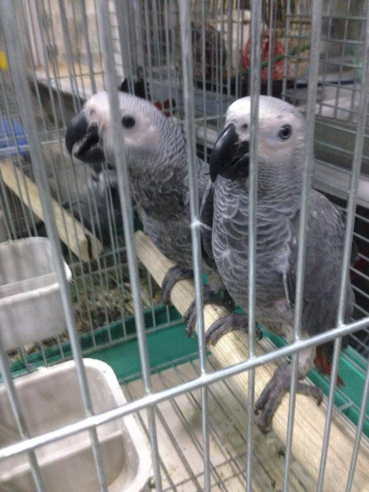Pets Pakistan Baby Hand Reared African Grey Parrots For Sale