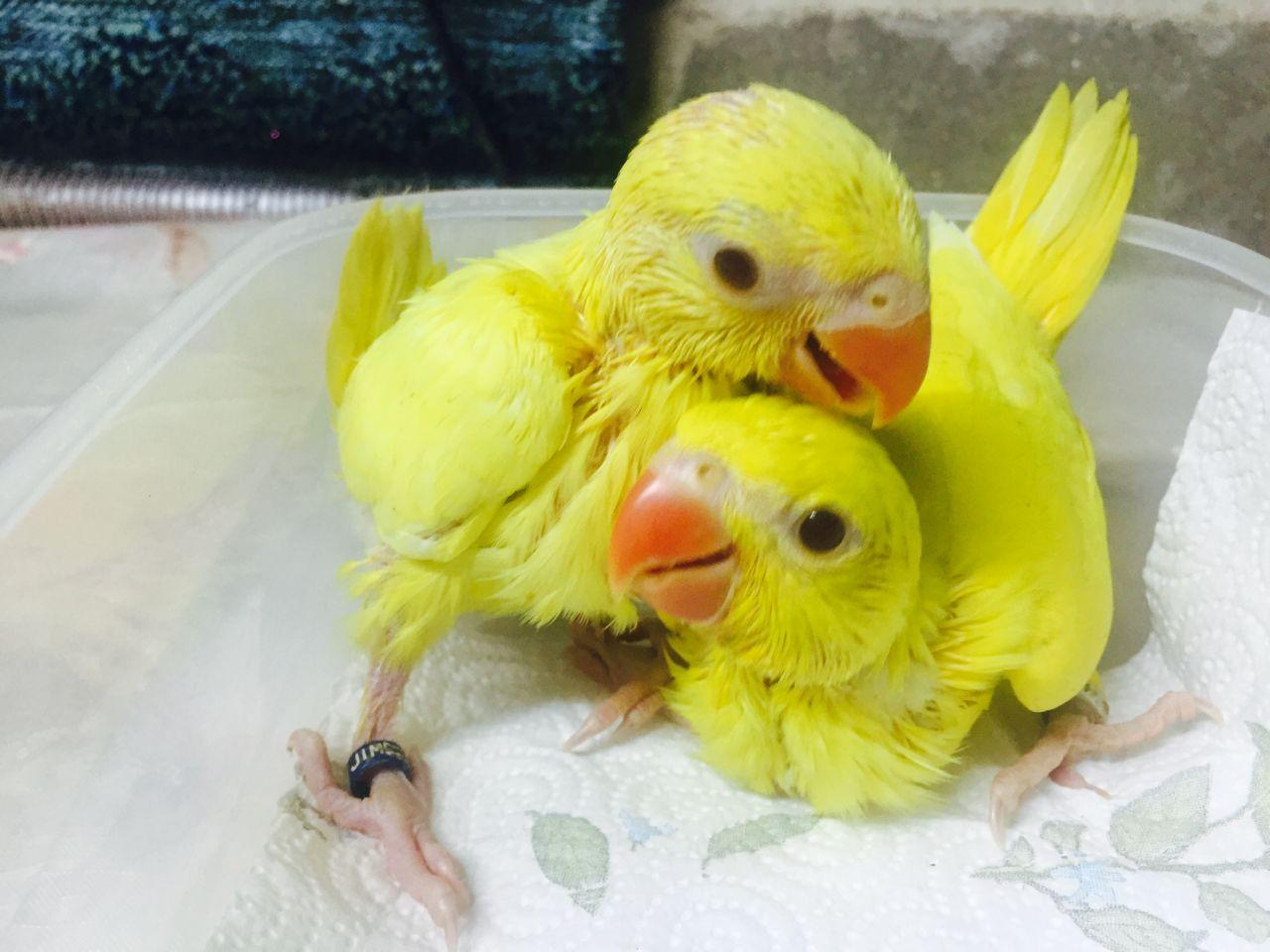 Pets Pakistan Healthy Baby Parrots And Fertile Eggs For Sale