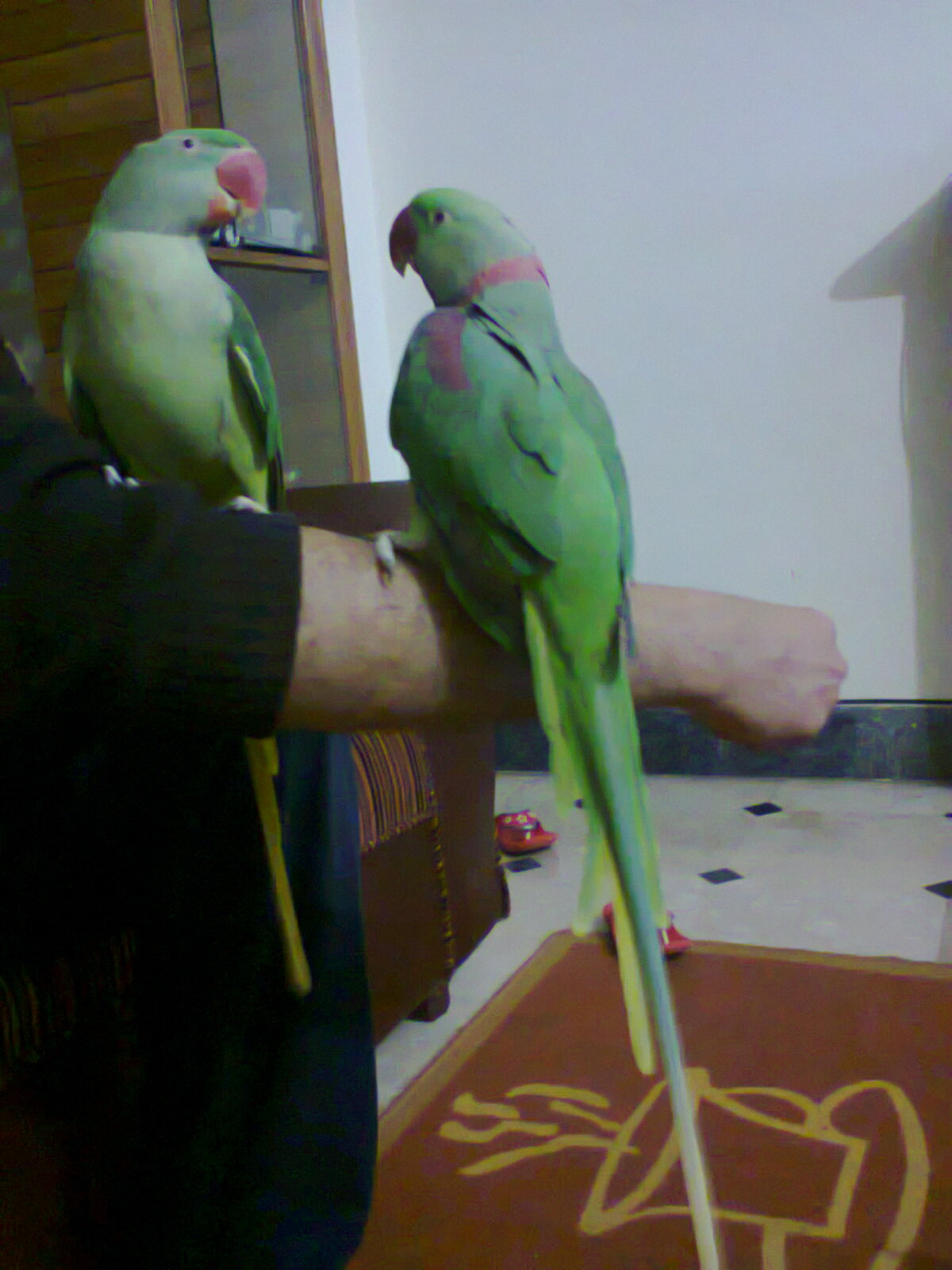 Pets Pakistan Hand Tamed Talking Raw Parrot Pair