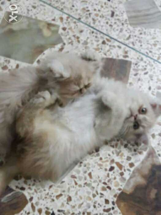 Pets Pakistan Persian Couple Kittens