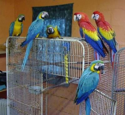 Pets Pakistan - Parrots, African Grey, Cokatoos, Exotic bird and fertile  eggs for sale