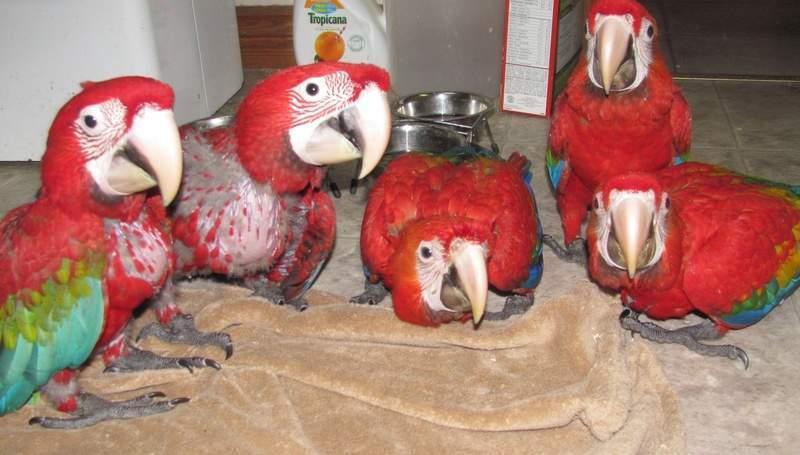 Pets Pakistan - Cute scarlet macaw parrot babies $300