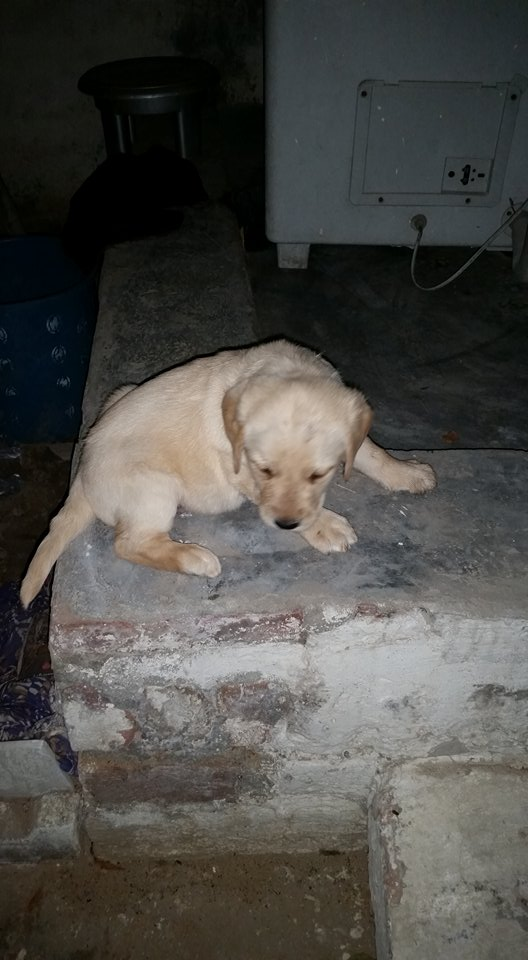 Olx lahore dogs for sale