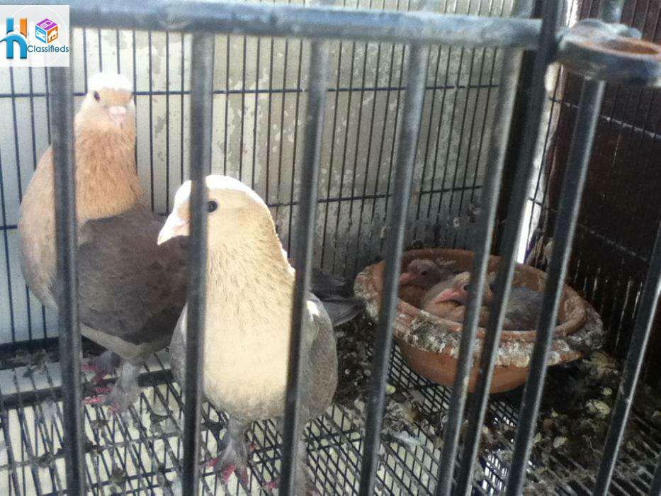 Pets Pakistan - i want to sale beautiful breeder pigons urgent in