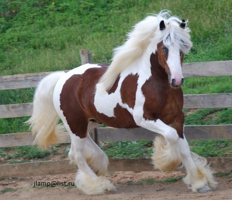 Pets Pakistan - Healthy Gypsy Vanner horse for sale