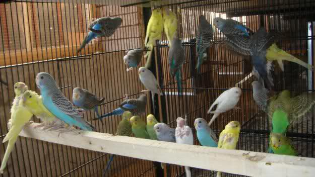 Pets Pakistan - Australian Parrots for sale