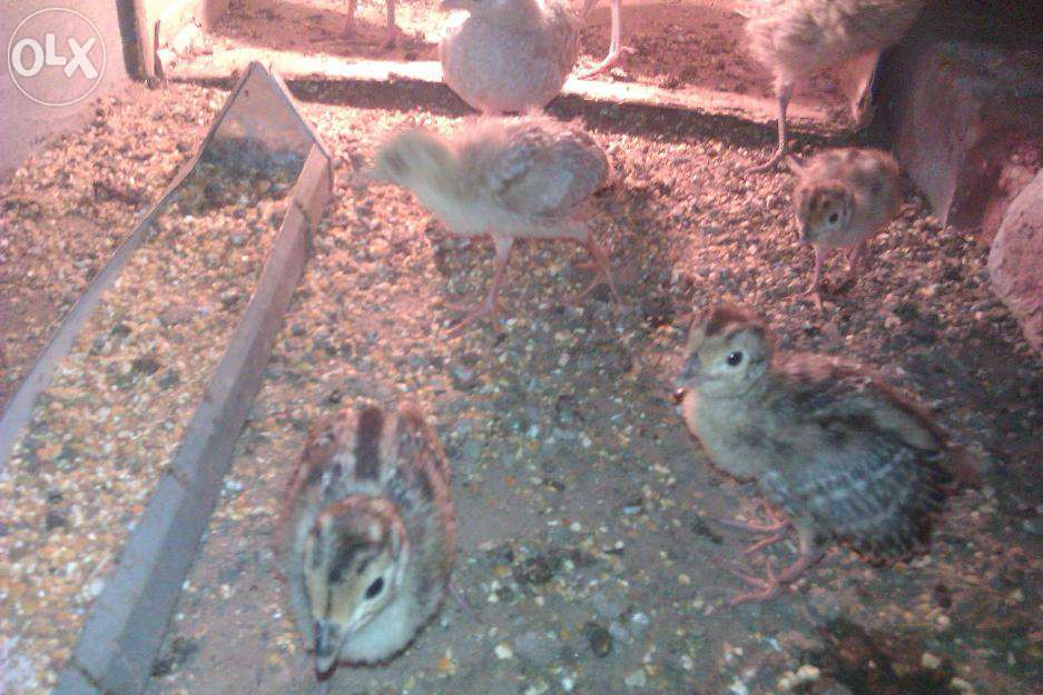 Pets Pakistan - pheasant chicks for sale all type