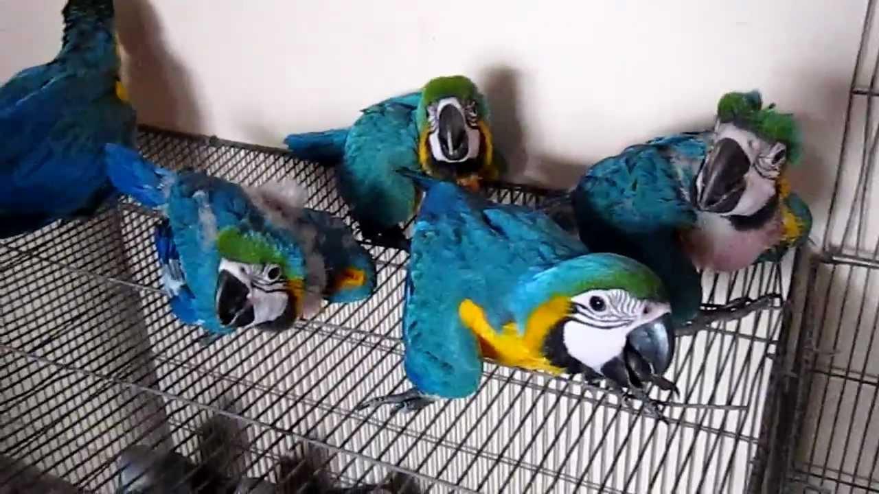 Pets Pakistan Macaw African Grey Cockatoo Rhea Conure