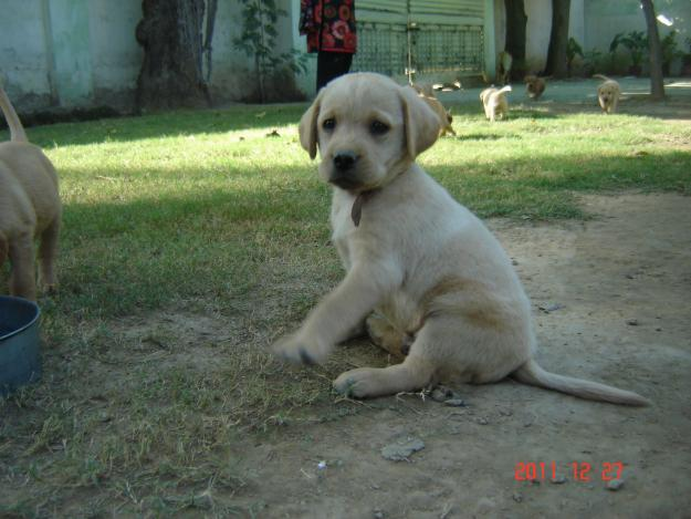 Pets Pakistan - Labrador Puppies for Sale In Rawalpindi