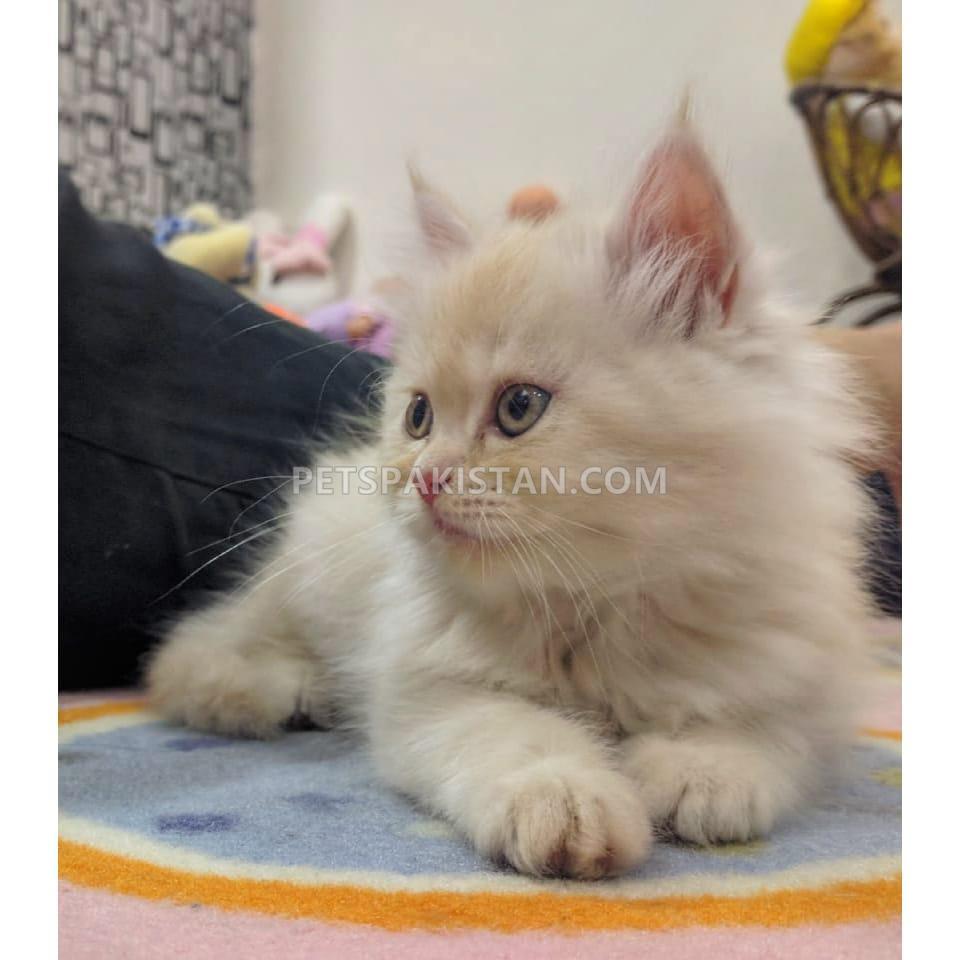 Pets Pakistan - Persian kittens for sale