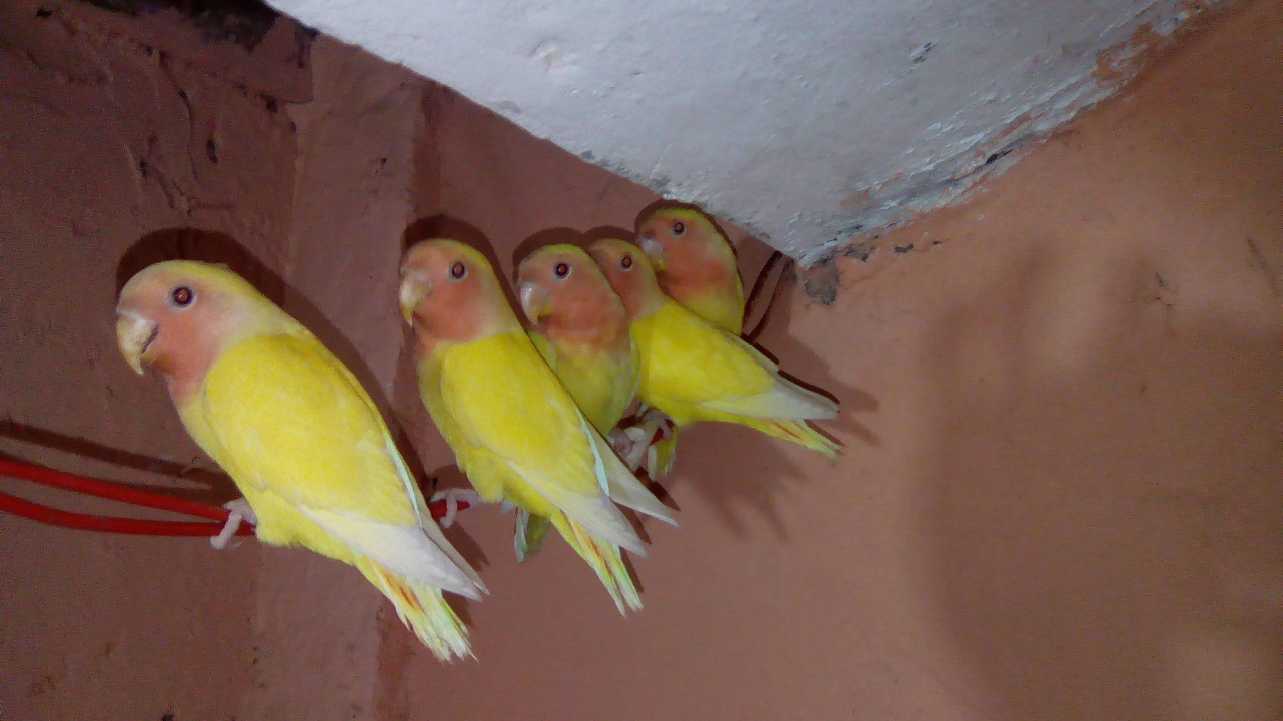 Pets Pakistan - 2 Pairs of LOVE Birds For Sale