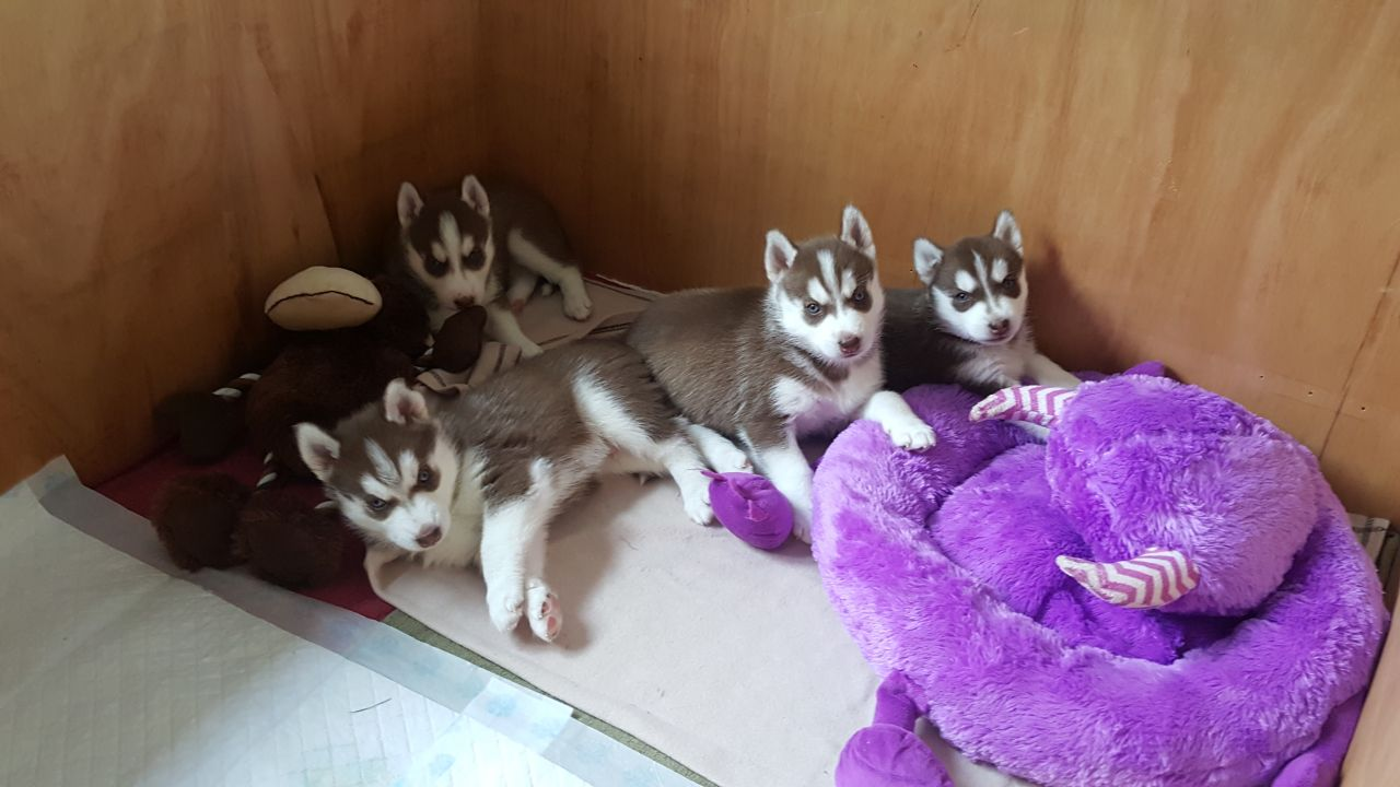 Pets Pakistan - Male and Female Siberian Husky Puppies for
