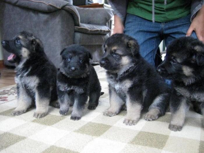Pets Pakistan - German Shepherd Puppies for Sale