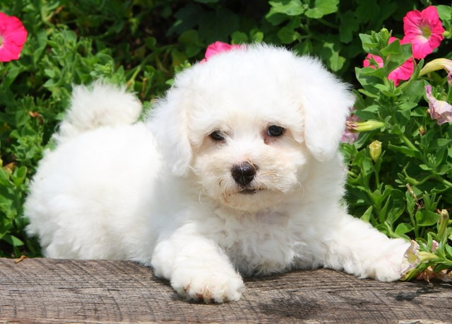 Bichon frise puppies for sale Other ARIF WALA - Animals - Pets for ...