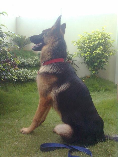 Pets Pakistan - german shephred dog for sale- dogs for sale
