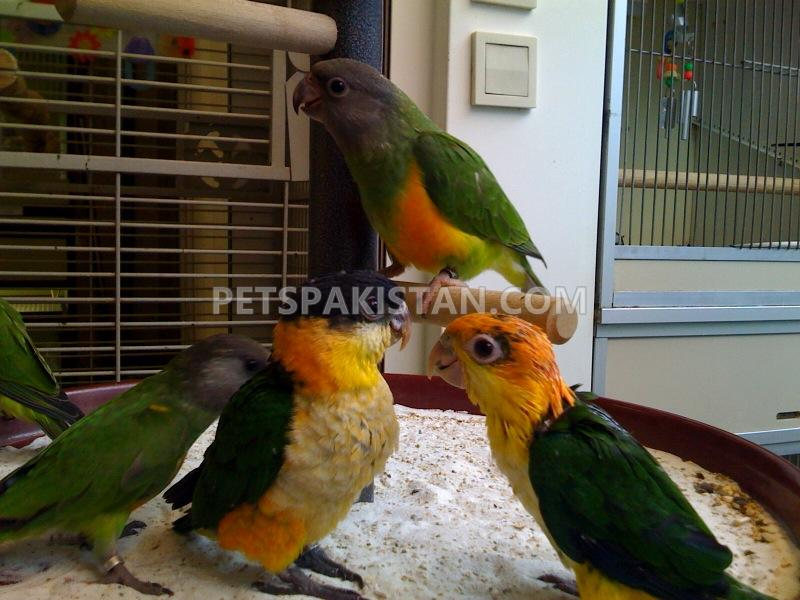 Pets Pakistan - African grey, cockatoo,macaws,Amazons,elecdus for