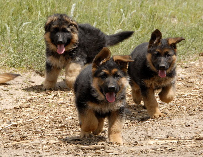 Pets Pakistan - my trained puppies