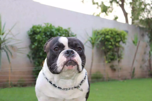 Bully Dogs For Sale In Lahore