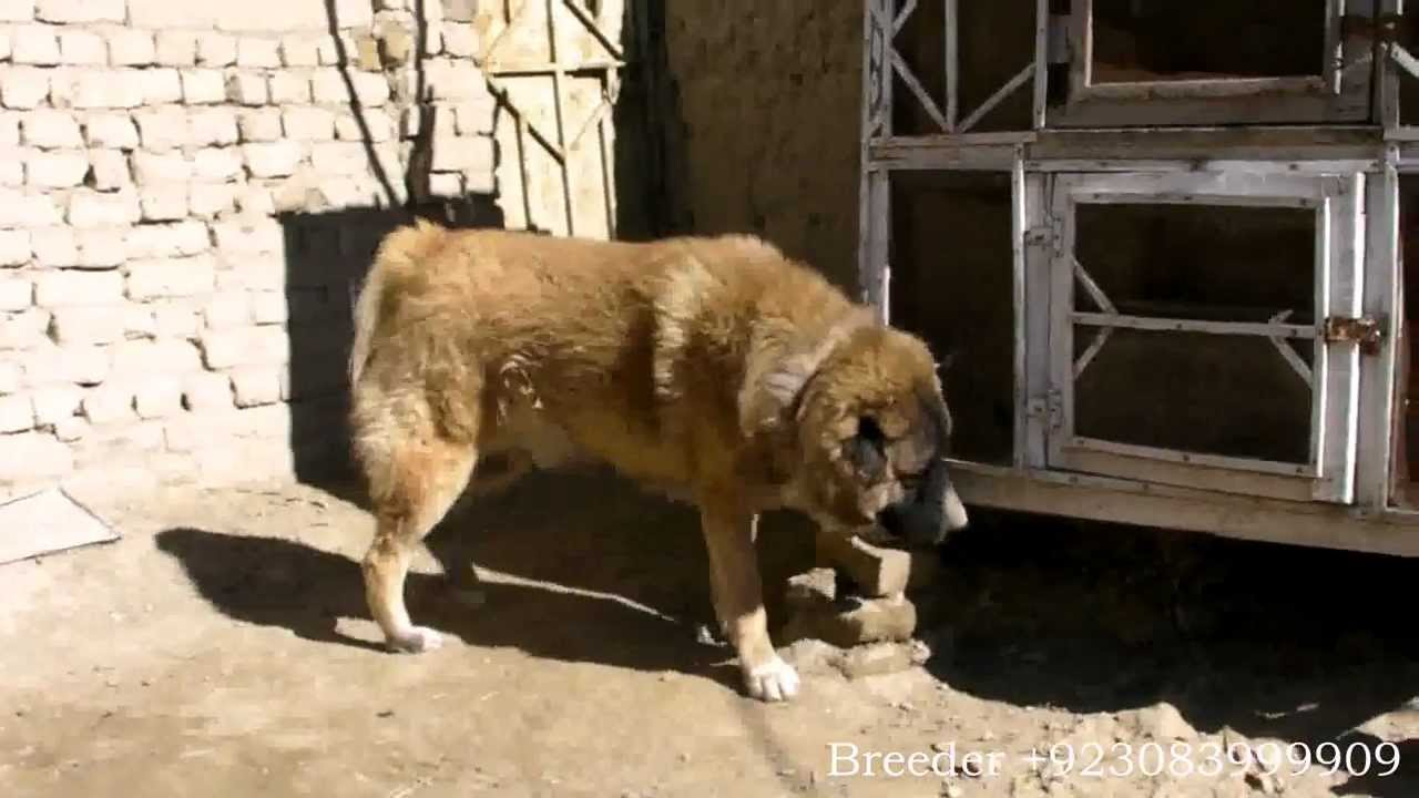 Pets Pakistan Gsd Original Puppies Adult Male And