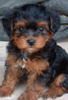 Pets Pakistan Fine Yorkie Puppies Puppies For Adoption