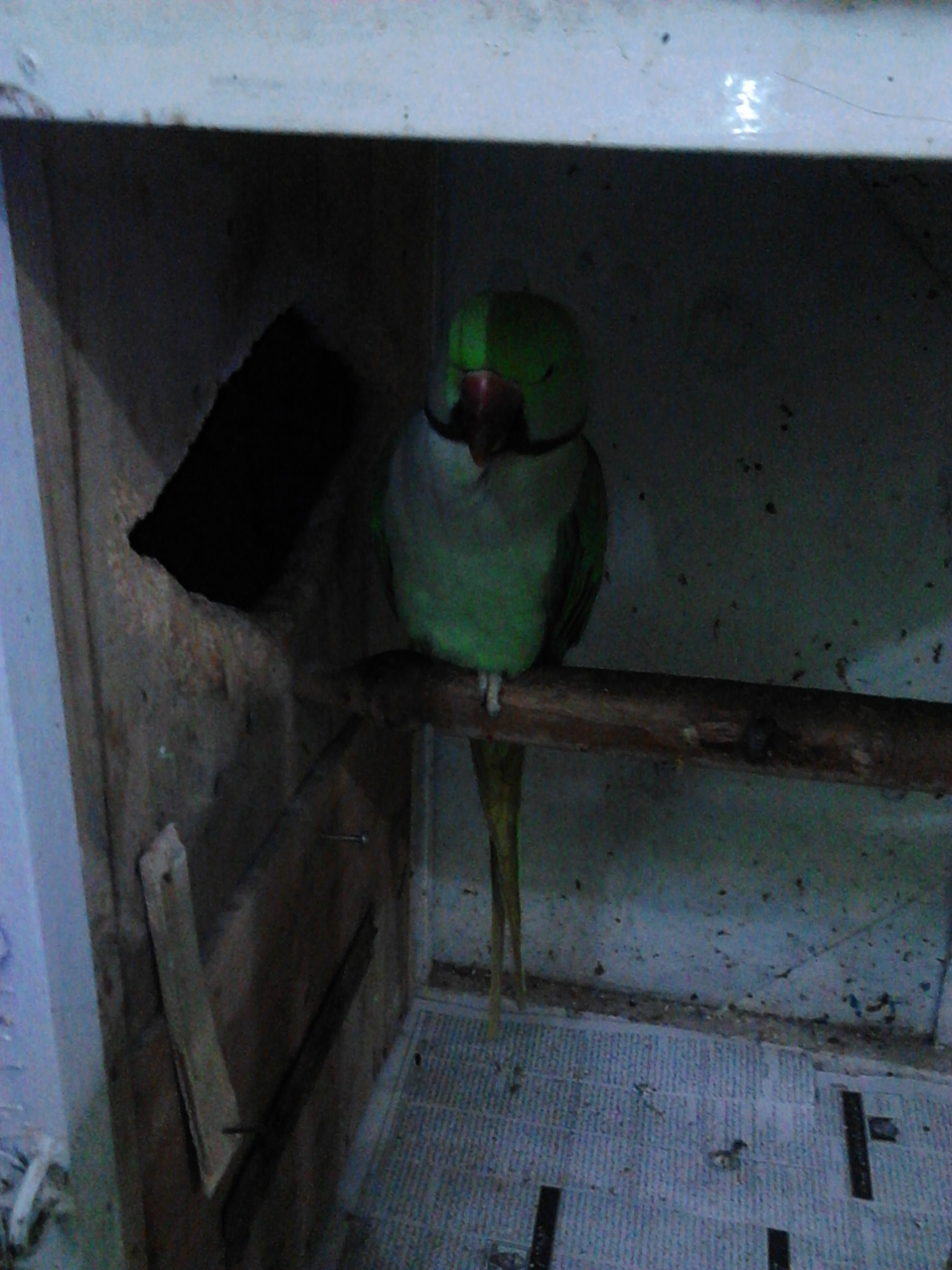 Pets Pakistan Raw Parrot