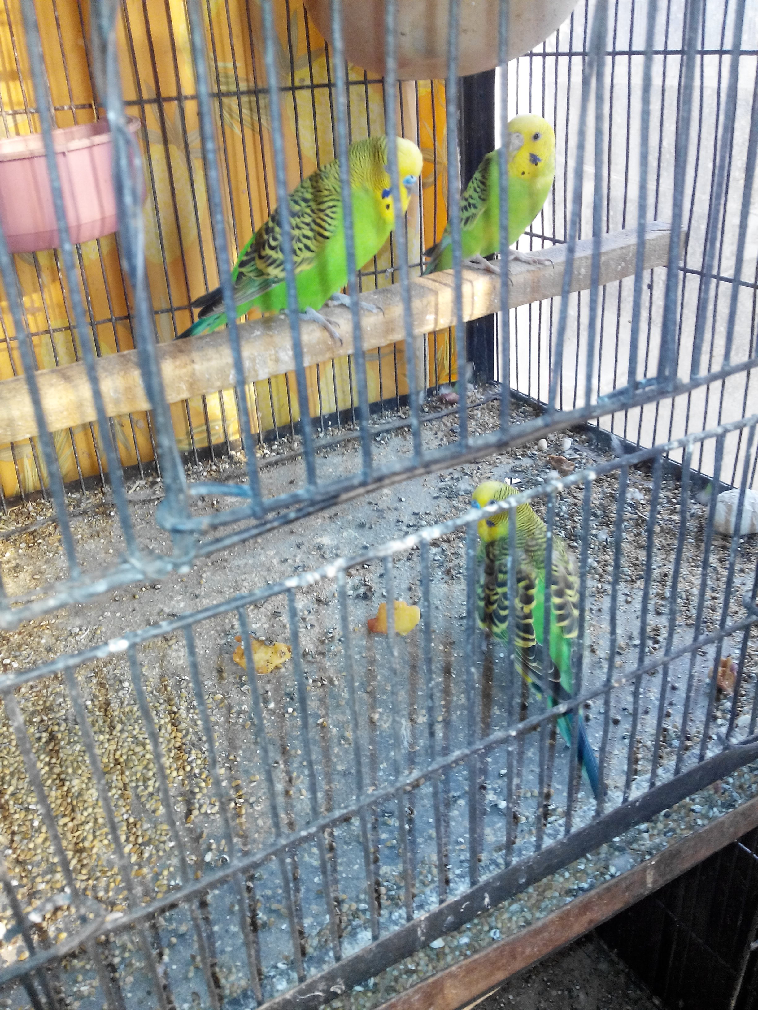 Pets Pakistan - 3 Australian budgies for sale