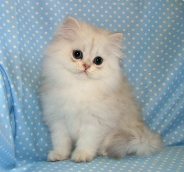 Buy Chocolate Persian Cat