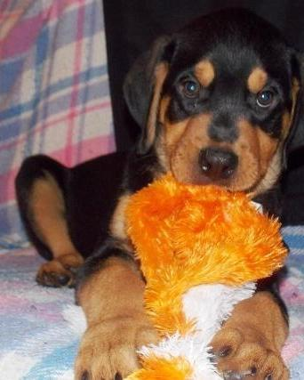 Pets Pakistan - Male and Female Rottweiler Puppies for Adoptio