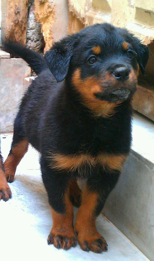 Pets Pakistan - Rottweiler pups for sale