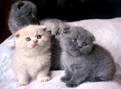 Pets Pakistan - Unusual Black Scottish Fold Kittens Kitten