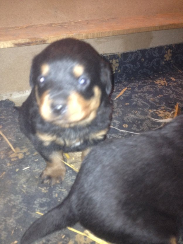 Pets Pakistan - rottweiler puppies for sale