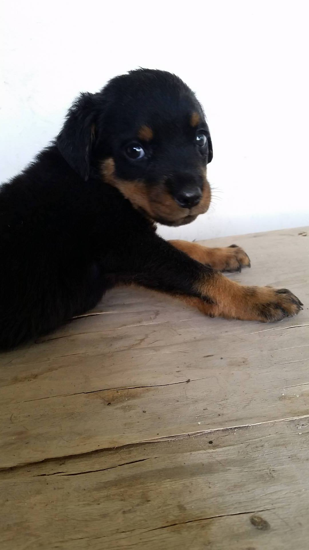 Pets Pakistan - Rottweiler Puppies Available