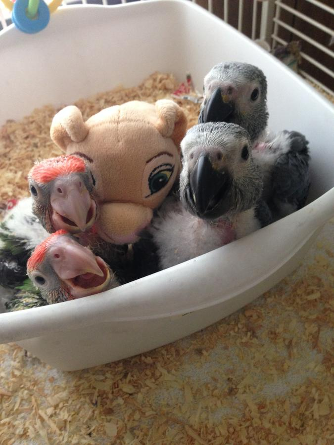 Pets Pakistan Congo African Grey And Cape Babies In