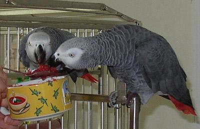 Well Trained African Grey Parrots For Adoption African
