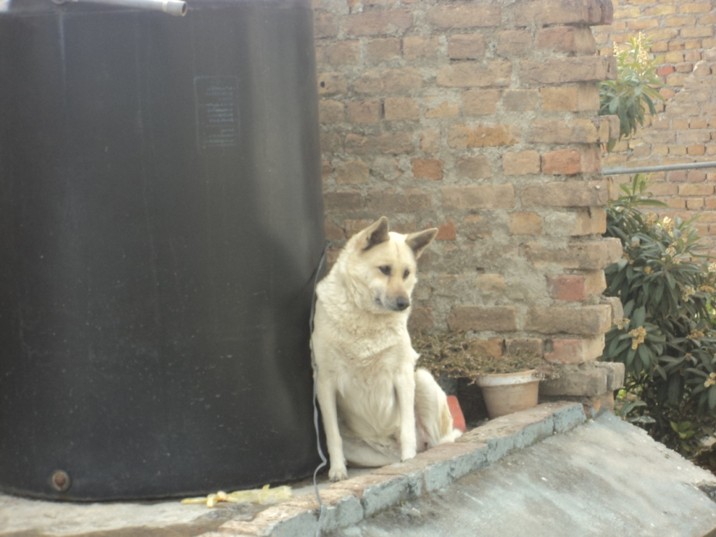 Pets Pakistan - Male Required For Mating White Shepherd