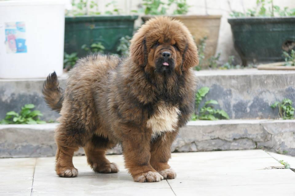 Pets Pakistan - Tibetan Mastiff puppies for adoption