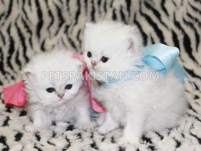 Pets Pakistan - white persian kittens for sale